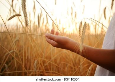 Kid hand wheat field