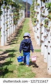 Kid harvesting in a strawberry farm in Australia. hydroponic farm. Synthetic chemical free. Sweet and juicy.