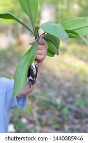 Kid holding Ramps wild garlic plant fresh harvest in Michigan forest