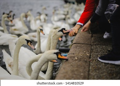 Kid and mother hand giving food to a group of swans on the edge of the river. Lovely feeding swans in a park.
