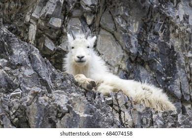 Kid mountain goat on rocky ledge in winter