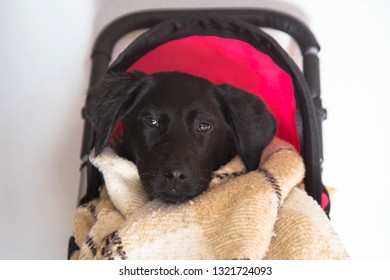Kid puppy sitting in a baby toy stroller. Dog Labrador Retriever puppy wrapped in a blanket sitting in a buggy. Puppy like a baby game.