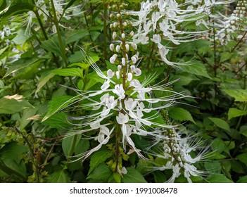 Kidney tea, Cat's whiskers, Java tea (Orthosiphon aristatus) herbal plants to treat diabetes, kidney inflammation and gout