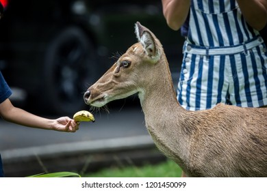Kid's hand is feeding Eld's deer (Panolia eldii) also known as the thamin or brow-antlered deer, is an endangered species of deer indigenous to Southeast Asia