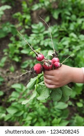A kid's hand picking radishes in a garden