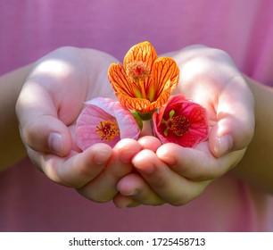 Kid's hands holding Malvaviscus Abutilon