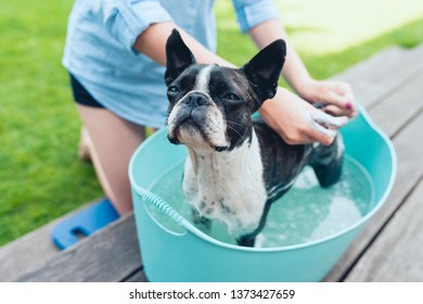 kids wash boston terrier puppy in blue basin  in summer garden on a wooden terrace