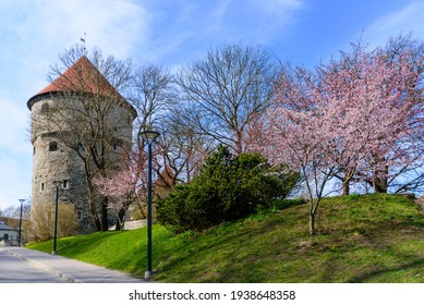 Kiek-In-De-Kok artillery tower in Tallinn, Estonia at sunny spring day with blossoming cherry trees