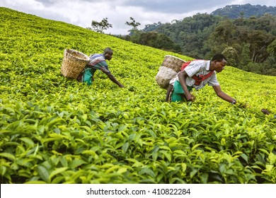 KIGALI, RWANDA - SEPTEMBER 6, 2015: Unidentified workers. The African workers. The men working on tea plantations collect tea on their basket.