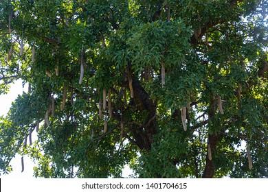 Kigelia tree at the Bwabwata-Nationalpark in northern Namibia during summer