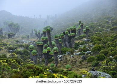 Kilimanjaro climbing. Endemic plants are Senecio Kilimanjari. This plant is grown only around Kilimanjaro mount. Early evening fog. Tanzania, Africa