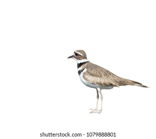 Killdeer Bird Isolated on White Background Looking Afar