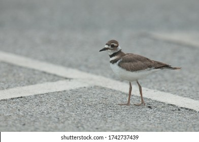 A killdeer (charadrius vociferous) stands out in a paved parking lot