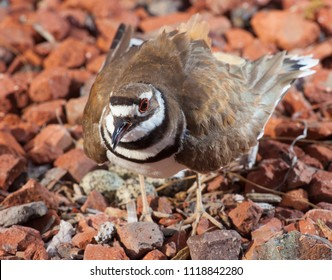 Killdeer extending its wings to protect its nest and eggs