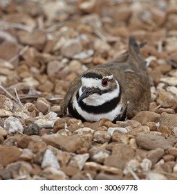 Killdeer laying on its nest in rocks