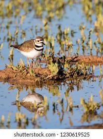 Killdeer in marsh with reflection