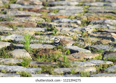 Killdeer nesting at the Ottawa Bluesfest site