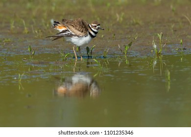 Killdeer standing at the edge of the water fluffing its wings. Ashbridges Bay Park, Toronto, Ontario, Canada.