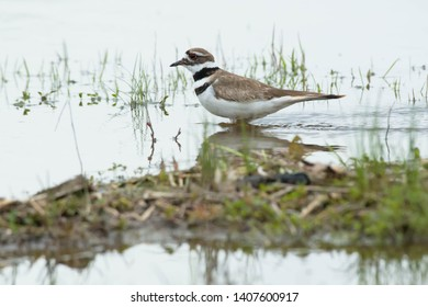 Killdeer standing in the shallow water. Ashbridges Bay Park, Toronto, Ontario, Canada.