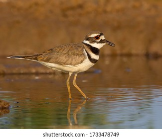 Killdeer walking in shallow watering hole in South Texas
