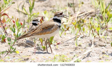 Killdeer with it's young.