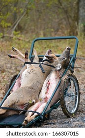Killed deer on the cart harvested by hunters
