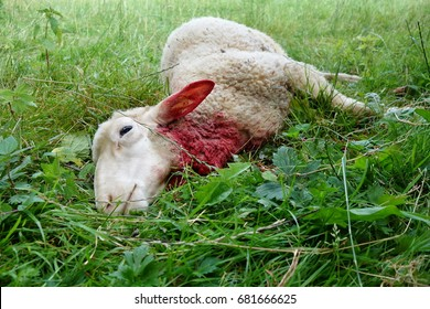 Killed sheep, Dog or wolf attack.