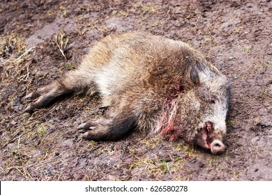 Killed wild boar in autumn forest, Latvia