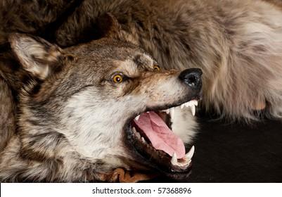 killed wild wolf animal snout taxidermy