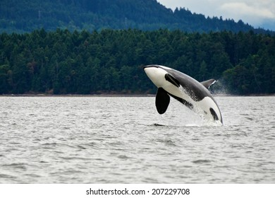 Killer Whale Breaching Near Canadian Coast