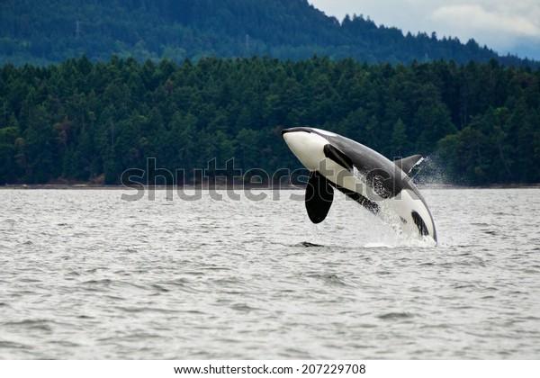 Killer Whale Breaching Near Canadian Coast