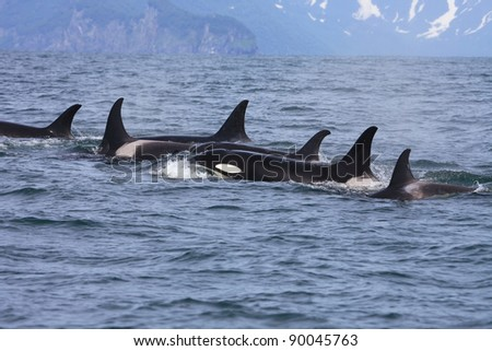 killer whale group traveling in the wild
