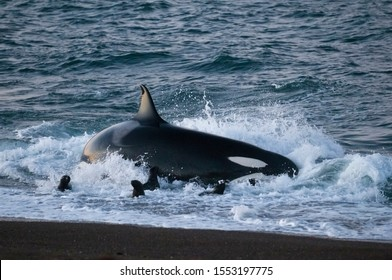 Killer whale hunting sea lions on the paragonian coast, Patagonia,Argentina