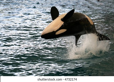 killer whale jumping on it's back over the water