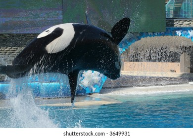 a killer whale jumps out of water