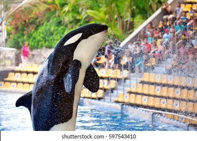 Killer whale in Loro Parque, Tenerife