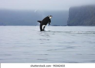 killer whale making high jump in the wild, Kamchatka, Russia