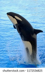 Killer whale or orca (Orcinus orca) jumps out of water