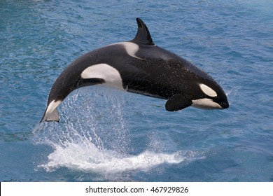 killer whale (Orcinus orca) jumping out of the water