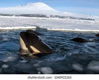 Killer Whale Pod in Antarctica
