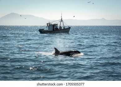Killer whale in the Strait of Gibraltar with a Moroccan fishing boat in the background