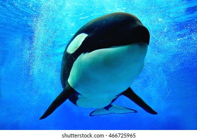 Killer whale swimming underwater with bubbles