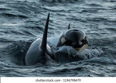 Killer whales feeding on herring, northern Norway.