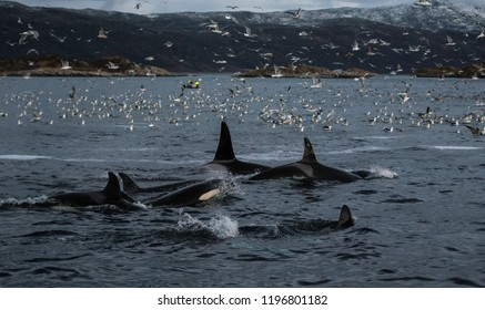Killer whales feeding on herring around fishing boats, northern Norway.