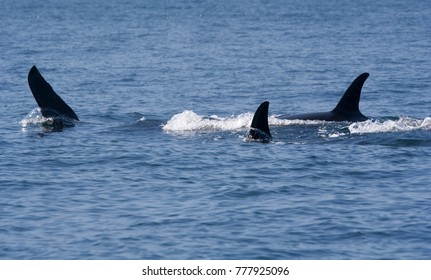 Killer Whales - Orcinus orca in front of Vancouver Island, Canada