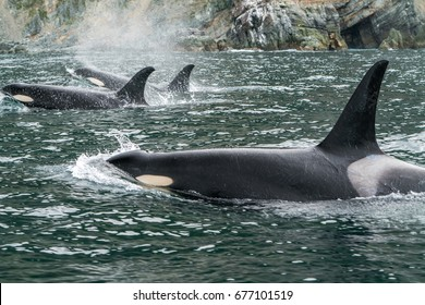 Killer whales in Pacific ocean