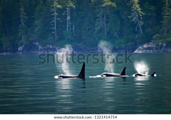 killer-whales-three-orcas-row-600w-13214