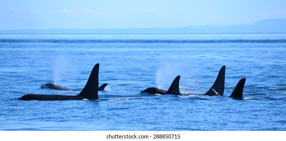Killer Whales Vancouver island