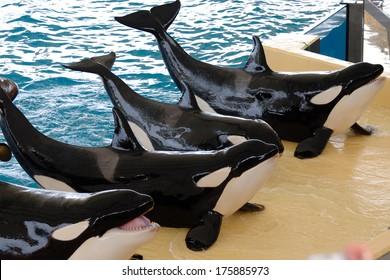 Killerwhales posing in waterpark
