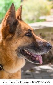 Kimba, a female German Shepherd Dog from Malta